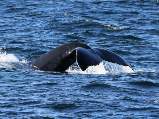 WHALES: PREPARING FOR WINTER