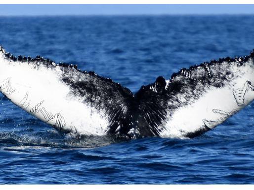 "2020 Humpback whale research: ""Tattoo"""