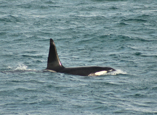 MALE ORCA RE-SIGTHED IN ICELAND