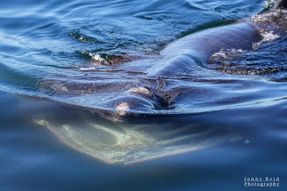 Basking shark's huge mouth