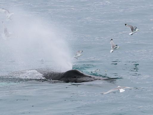 Whale frenzy in Faxaflói bay!