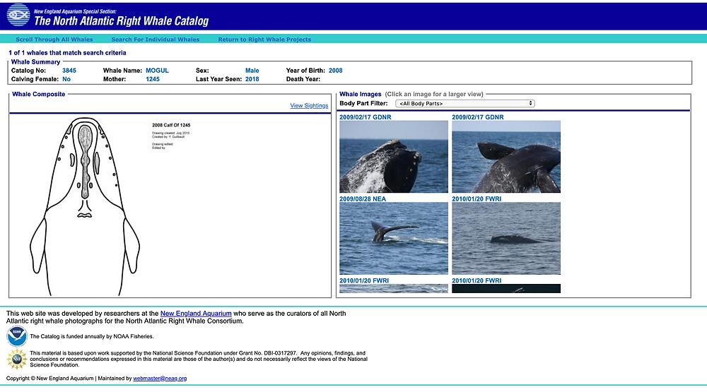 Mogul - North Atlantic Right Whale