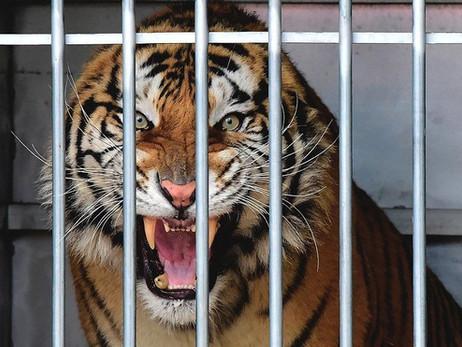Se upp för Tigern!