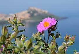 Cistus Incanus - růže středomoří