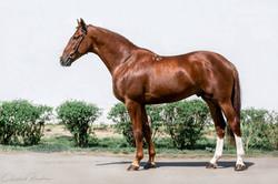 """""""Baryer"""" Budenny Stallion"""