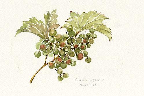 Chardonnay grapes ripening to raisins