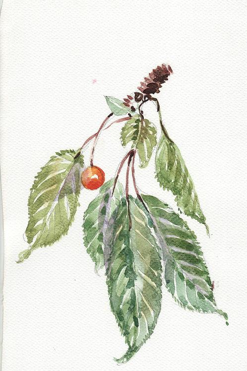Wild Bird Cherries