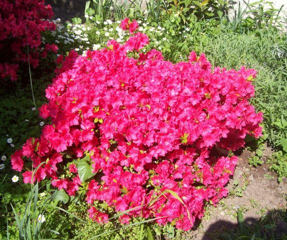 Azalea in giardino