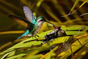 kolibrie nest frederico.jpeg