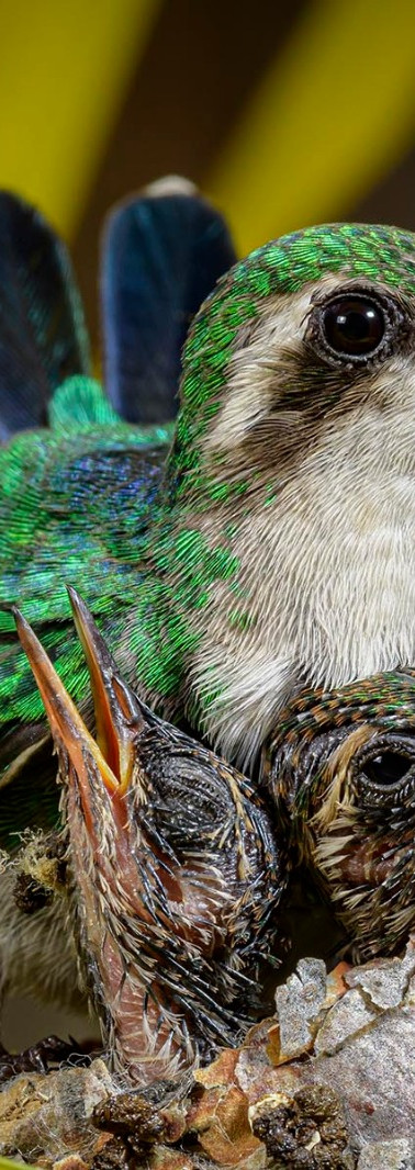 kolibrie nest tim.jpeg