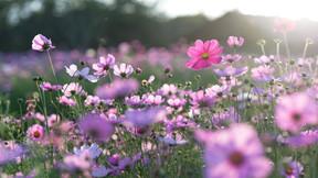 Recherche volontaire fleuraison de Sainte Olive 30 mai