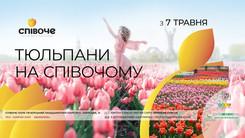 У столичному парку Співоче розквітло понад 700 тисяч тюльпанів.