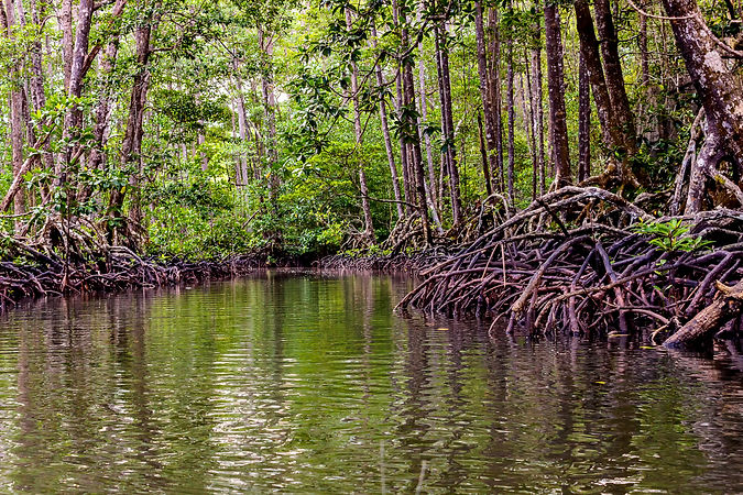 Mangrove trees along the river. The root