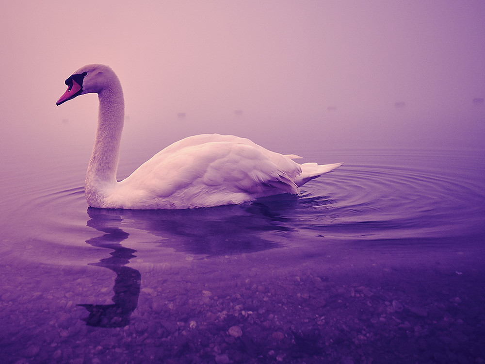A local swan in a calm pond
