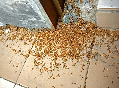 Termite Dead after few days