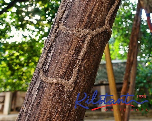 Termite Mudtubes and Activity on Trees and Gardens in Malaysia