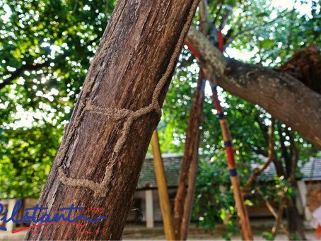 How and Why Termites attack Trees
