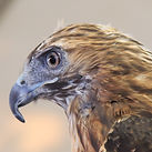 The Red-tailed Hawk, one of the large raptors that will be shown at   the Orange Land Trust Tent. Native to our area, you may have seen one, but never this close.   Photo, ©2012 Alex Iannelli