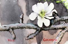 Chickweed.JPG
