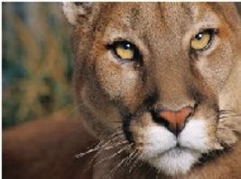 docile cougar.jpeg