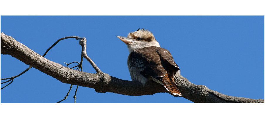 Kookaburra (0211)