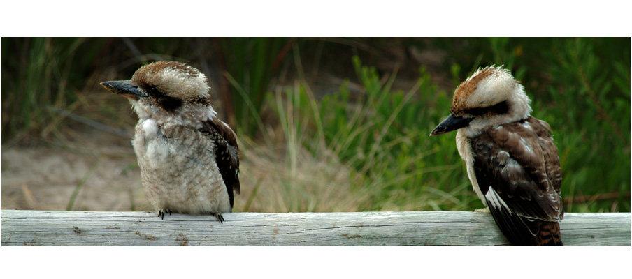 Kookaburras (0210)