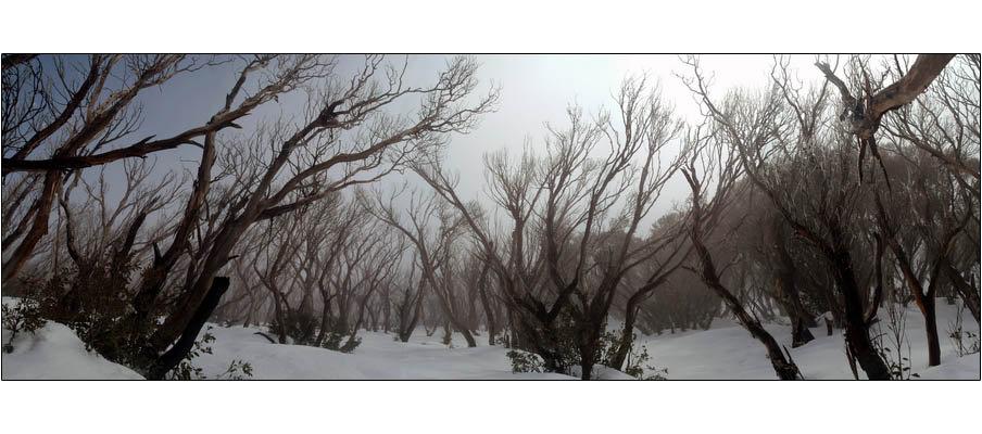 Mt Feathertop Snowgums (0054)