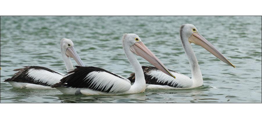 Pelicans Swimming (0060)