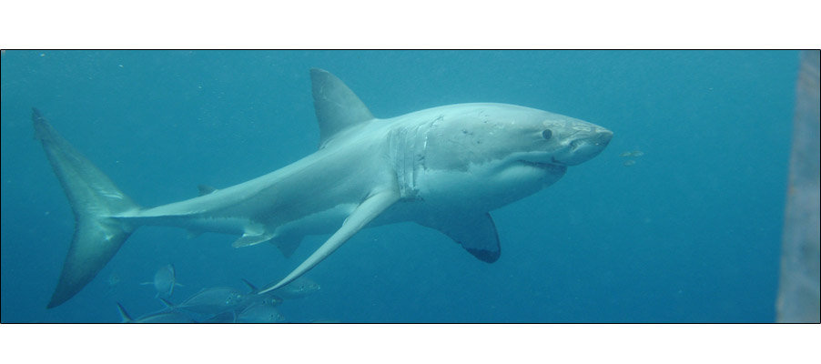 Great White (0099)