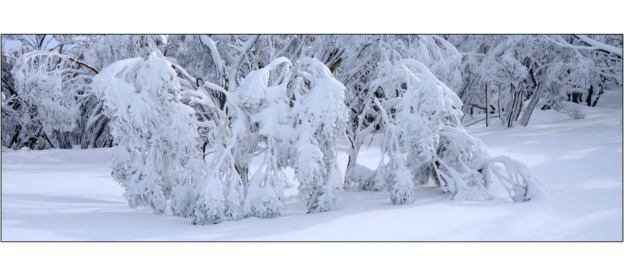 Baw Baw Frozen Snowgums (0123)