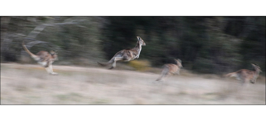 Kangaroos in flight (0179)