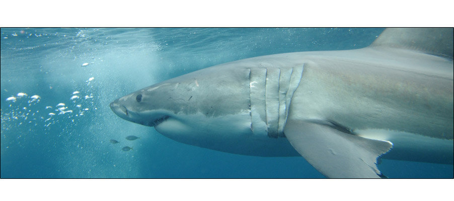 Great White (0100)
