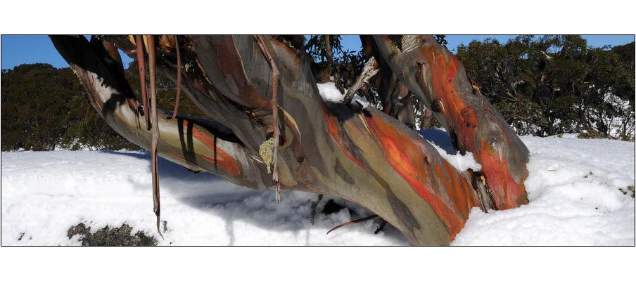 Mt St Gwinear Snowgum (0129)
