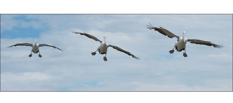 Landing Pelican (0062)