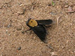 Mouche noire et fauve
