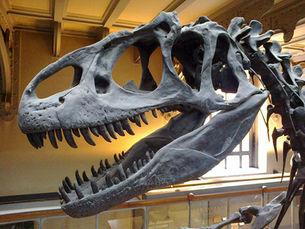 Crâne d'allosaure