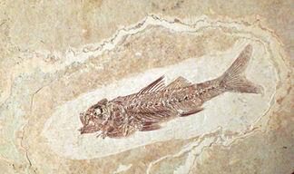 Fossile Oligocène
