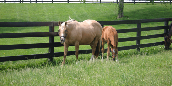 Eastern Tent Caterpillars and broodmares