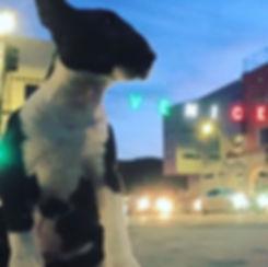 Miniatue Bull Terrier Venice California