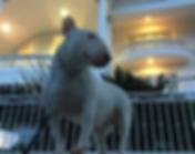 Miniature Bull Terrier Mansion