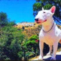 Miniature Bull Terrier Hollywood