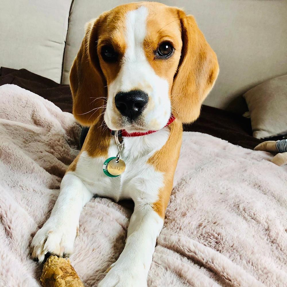 Beagle schaut lieb