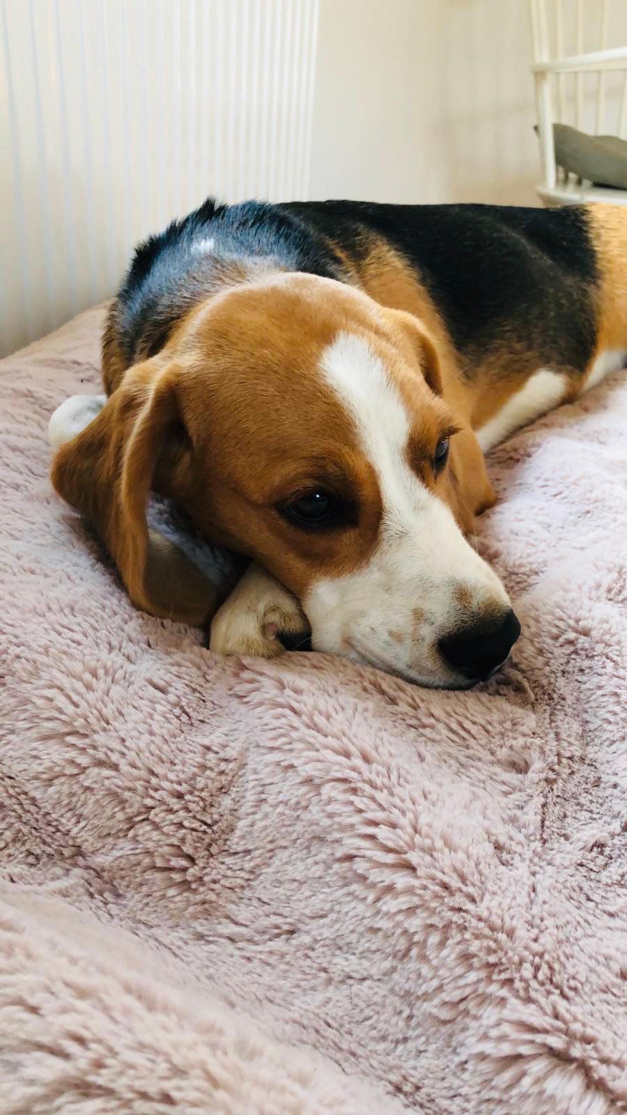 Beagle Tagträume