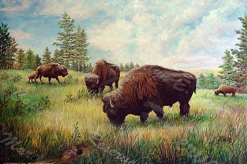 PRTGLP420-Buffalo Grazing