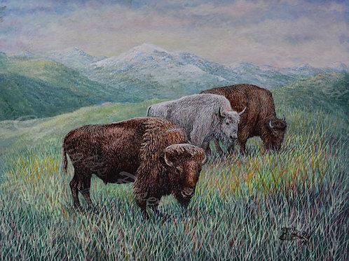 PRTGLP480-Albino Buffalo in Rockys