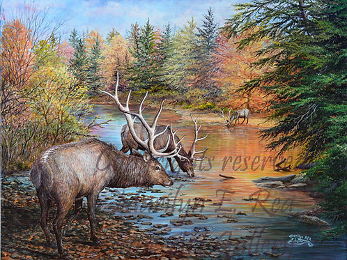 PRTGLP459-Elk At Buffalo Creek