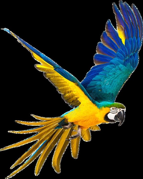 kisspng-parrot-bird-blue-and-yellow-maca