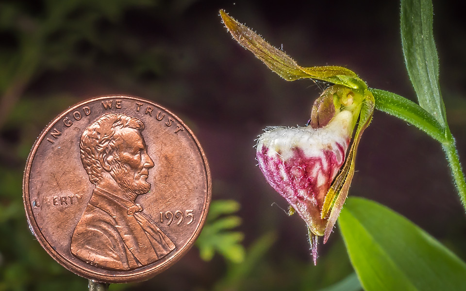 Cypripedium arietinum.