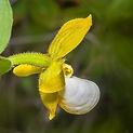 Cypripedium californicum.jpeg