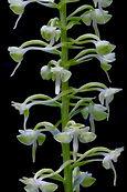 Platanthera orbiculata.jpg